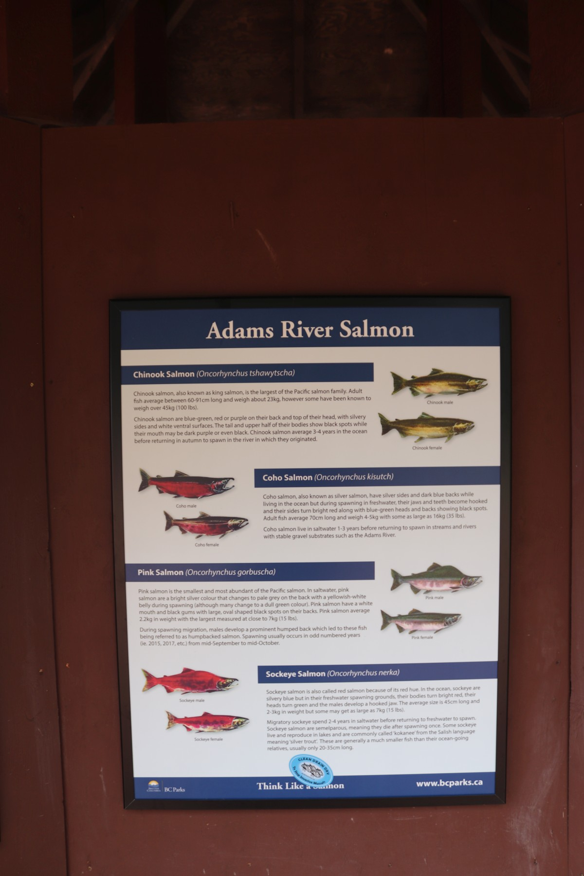 Adams River Salmon
